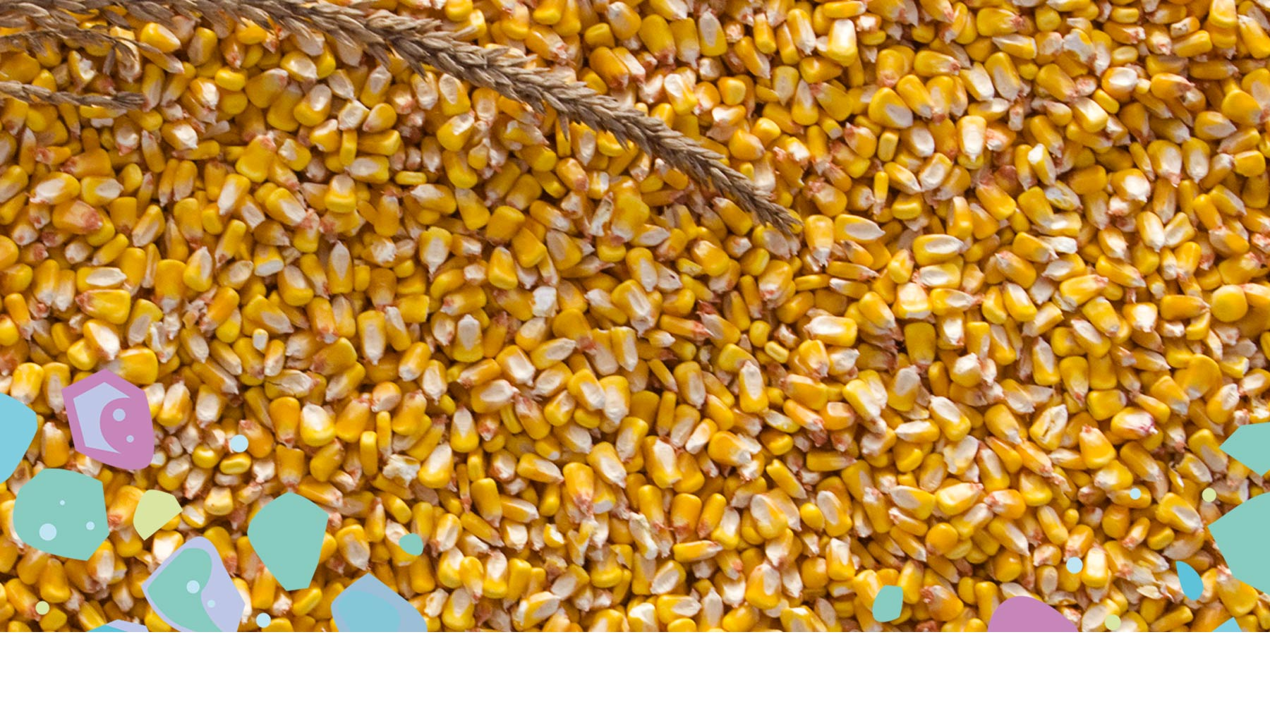 Corn kernels - the main ingredient in PLA - showing natural alternatives to prevent microplastics and plastic pollution